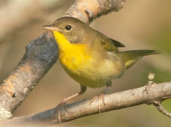 Common Yellowthroat 2020-2