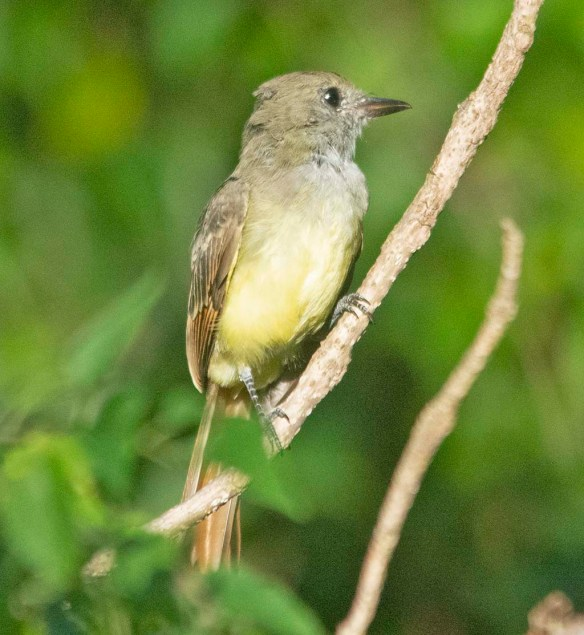 Great Crested Flycatcher 2020-110