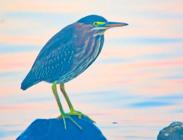 Green Heron 2020-145