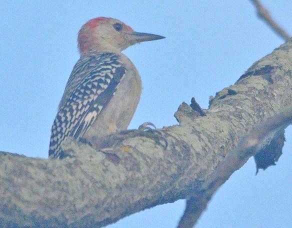 Red Bellied Woodpecker 2020-1
