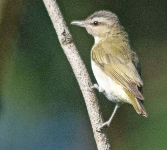 Red Eyed Vireo 2020-3