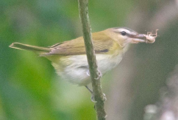Red Eyed Vireo 2020-6