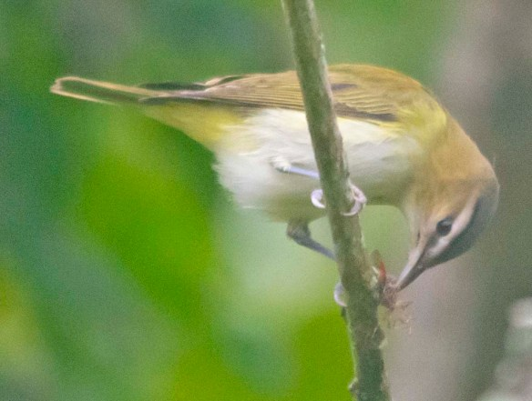 Red Eyed Vireo 2020-8