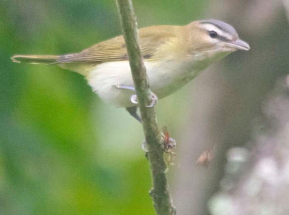 Red Eyed Vireo 2020-9