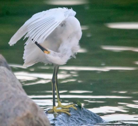Snowy Egret 2020-195