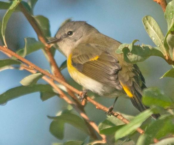 warbler 6