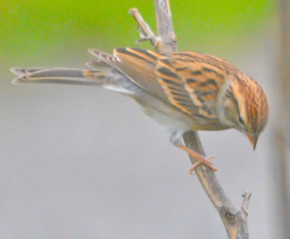 Chipping Sparrow 2020-17