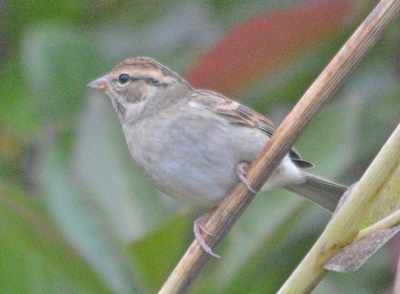 Chipping Sparrow 2020-19