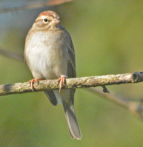 Chipping Sparrow 2020-20