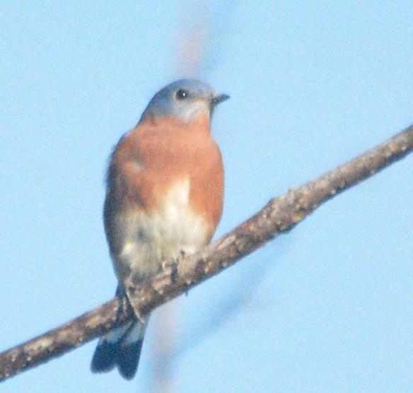 Eastern Bluebird 2020-104