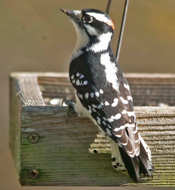 Downy Woodpecker 2020-15