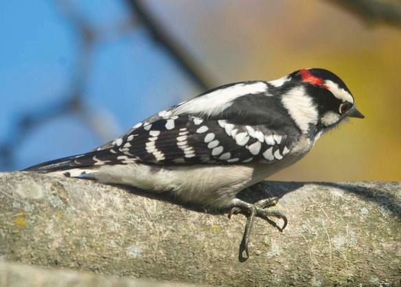 Downy Woodpecker 2020-17