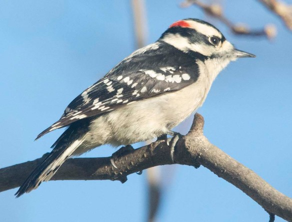 Downy Woodpecker 2020-25