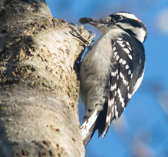 Downy Woodpecker 2020-28