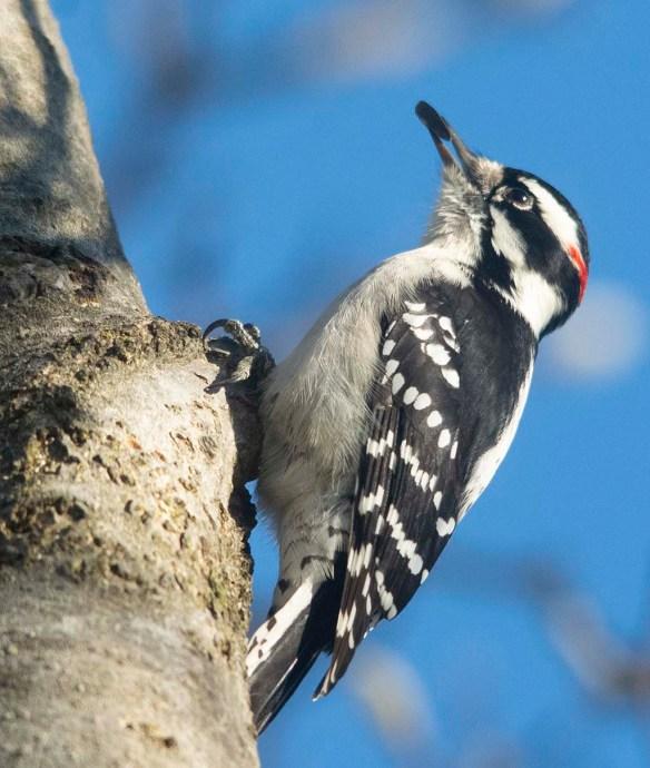 Downy Woodpecker 2020-29