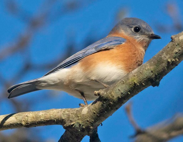 Eastern Bluebird 2020-108