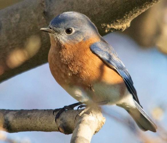 Eastern Bluebird 2020-110