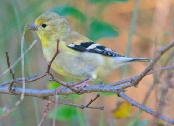 Goldfinch 2020-15