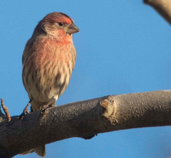 House Finch 2020-10