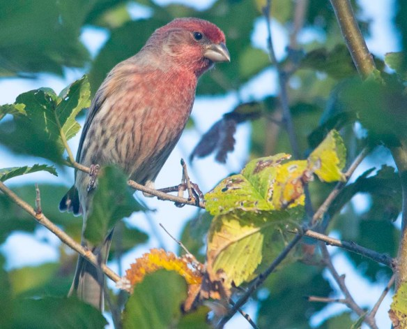 House Finch 2020-4