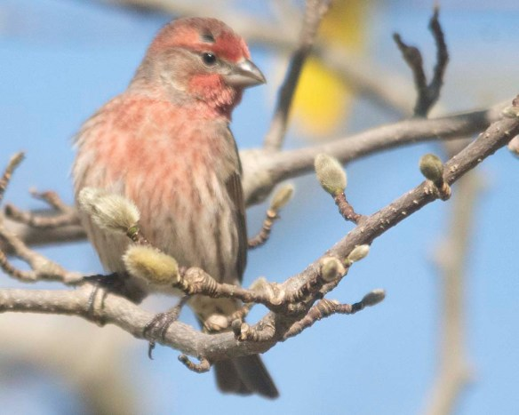 House Finch 2020-6