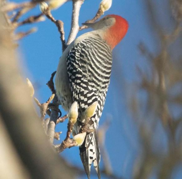 Red Bellied Woodpecker 2020-2