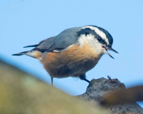 Red Breasted Nuthatch 2020-7