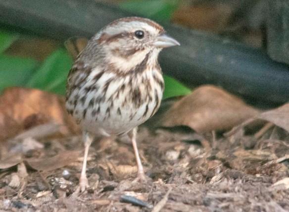 Song Sparrow 2020-9