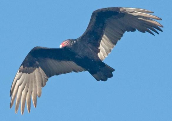 Turkey Vulture 2020-3