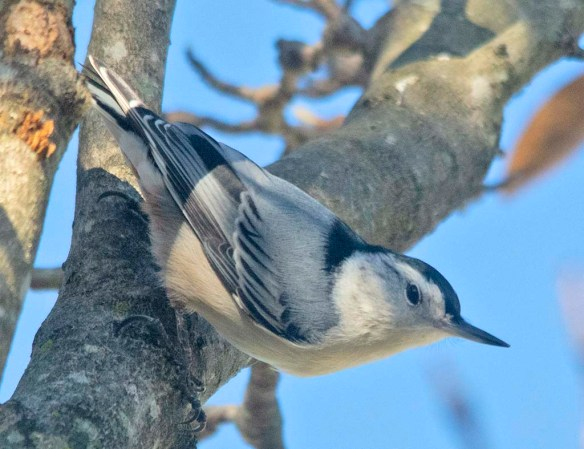 White Breasted Nuthatch 2020-14