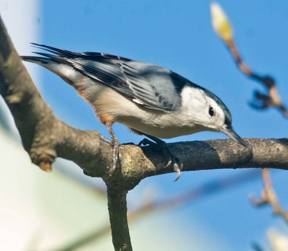 White Breasted Nuthatch 2020-17