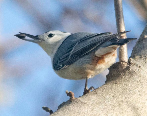White Breasted Nuthatch 2020-25