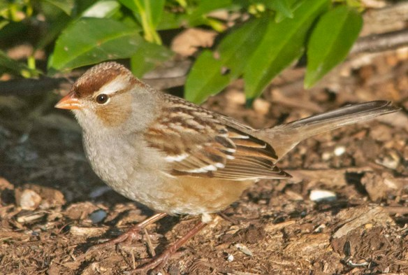White Crowned Sparrow 2020-13