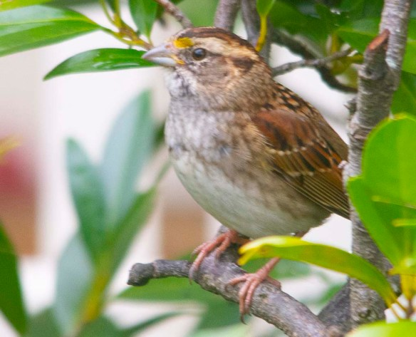White Throated Sparrow 2020-13