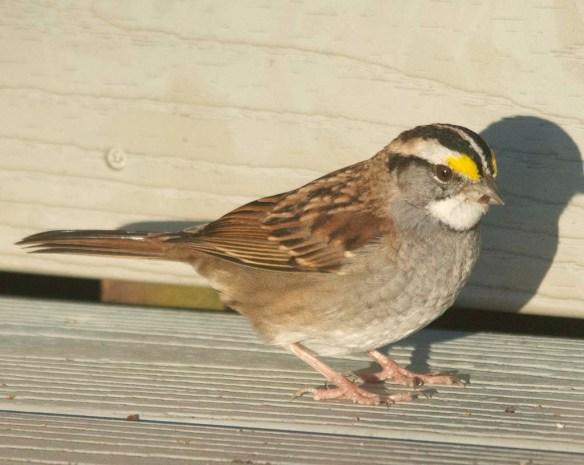 White Throated Sparrow 2020-16