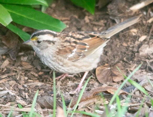 White Throated Sparrow 2020-21