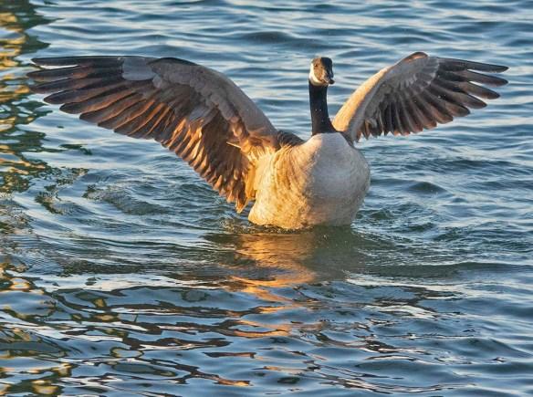 Canada Goose 2020-107