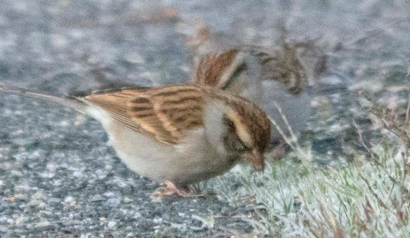 Chipping Sparrow 2020-25