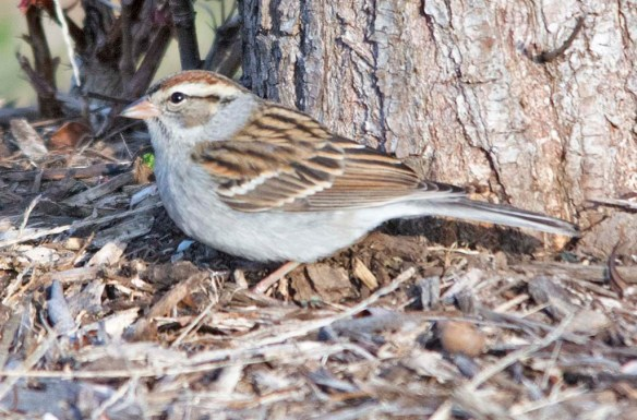 Chipping Sparrow 2020-28