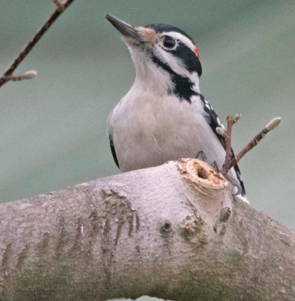 Downy Woodpecker 2020-32