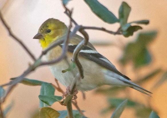 Goldfinch 2020-21