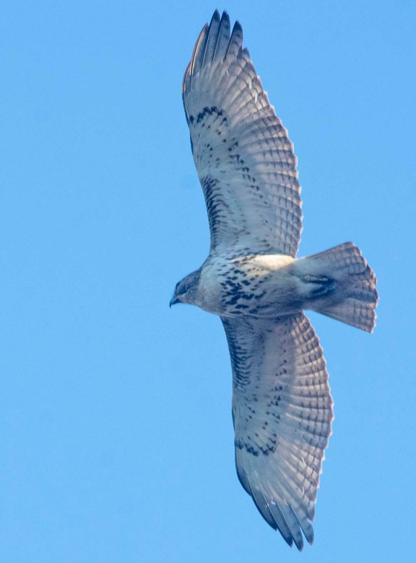 Red Tailed Hawk 2020-1