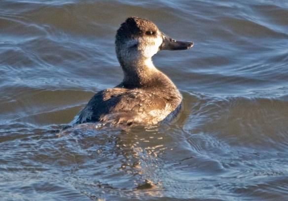Ruddy Duck 2020-32