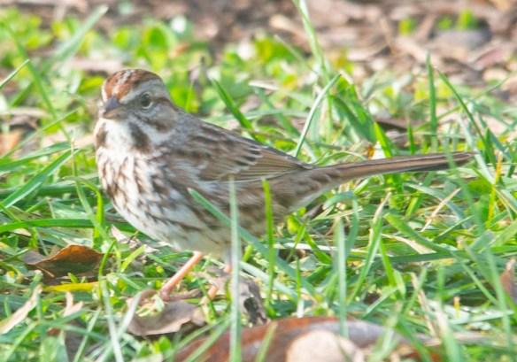 Song Sparrow 2020-15
