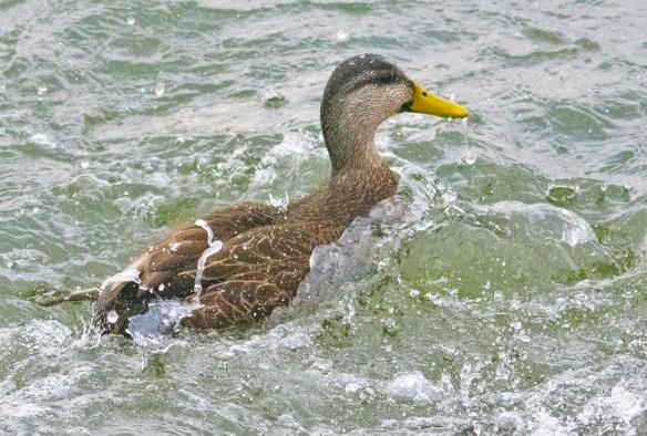 Black Duck 2021-3