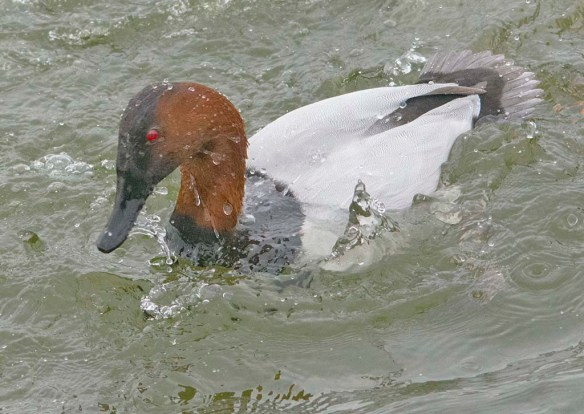 Canvasback 2021-45