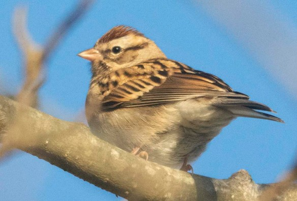 Chippimg Sparrow 2021-1