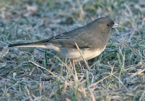 Dark Eyed Junco 2020-2