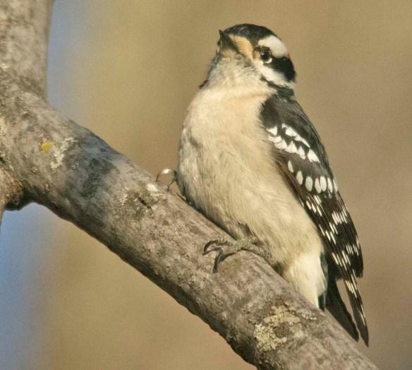 Downy Woodpecker 2021-1