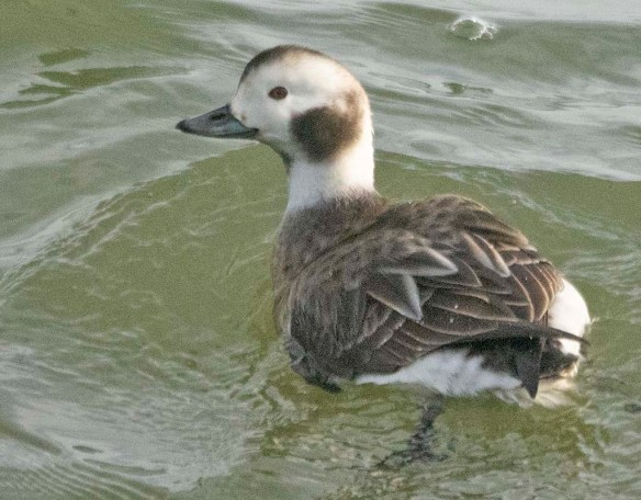 Long Tailed Duck 2021-15